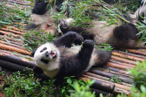 Chengdu-Panda-lying
